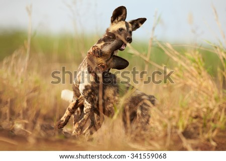 Close up, two African Wild Dog puppies playing in a grass. Ground level photo, african wildlife photography. Wild, African painted dogs puppies. KwaZulu Natal, South Africa. #341559068