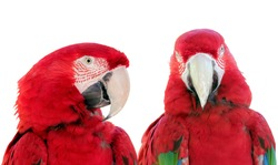 Close up two beautiful Scarlet Macaws parrot bird (Ara macao) against a white background.