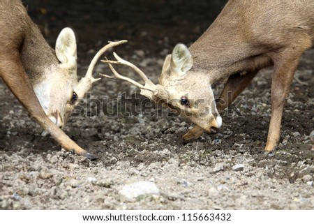 Close up two bucks fighting