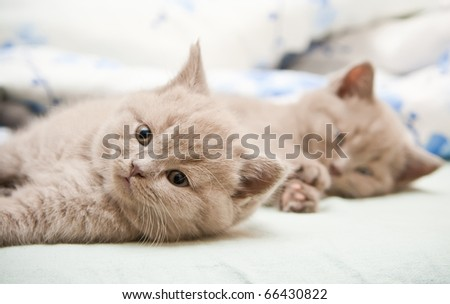 close-up two lying lilac british kittens, focus is on the nearest one