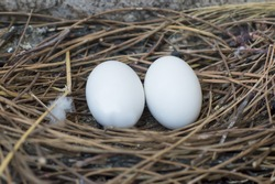Close up two pigeon egg in the nest
