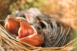 Close up Two Small Bird Beautiful Eye in Nest and open Mouth Waiting for Feed.
