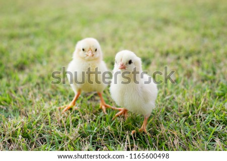 Close up two small yellow chicks on the lawn or grass field on the farm background patterns for concept design and decoration, Beautiful and adorable yellow little chicken #1165600498