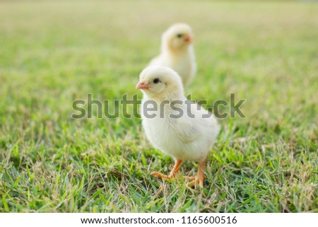 Close up two small yellow chicks on the lawn or grass field on the farm background patterns for concept design and decoration, Beautiful and adorable yellow little chicken #1165600516