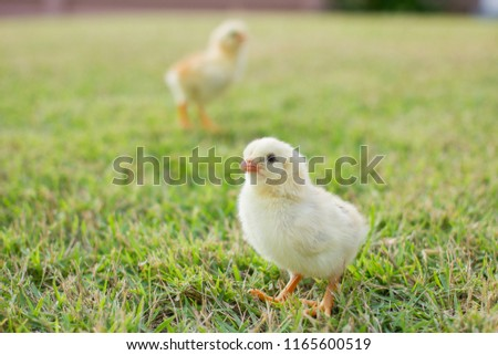 Close up two small yellow chicks on the lawn or grass field on the farm background patterns for concept design and decoration, Beautiful and adorable yellow little chicken #1165600519