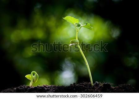 Close up two Young seedling growing on black fertile soil with dew from raining on green bokeh background. Earth day concept