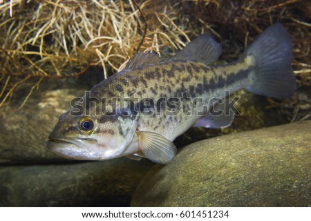 Close up underwater picture of a frash water fish Largemouth Bass (Micropterus salmoides) with a stones. Live in the lake.