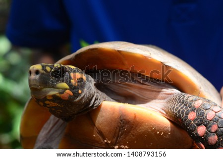 Close up upper body of freshwater turtle. Freshwater turtles are reptiles with hard shells that protect them from predators. #1408793156