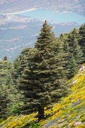 Close-up Vertical shot of Blue Atlas Cedar (Cedrus Atlantica) tree in Chelia National Park in the Aures mountains, Algeria