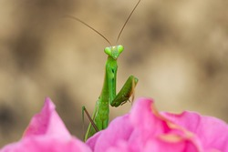 Close-up view a praying mantis on the pink flower. (Mantis religiosa)