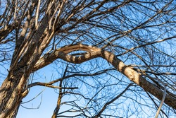 Close up view at broken branch of willow tree - possibly from heavy snow/ice at winter or hurricane wind at summer. Very thick branch was split up, form like O letter. Spring time