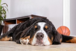 Close up view at sleeping Bernese Mountain Dog lying on a white floor in house.