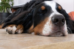 Close up view at sleeping Bernese Mountain Dog lying on a white floor in house. Macro nose of Dog.