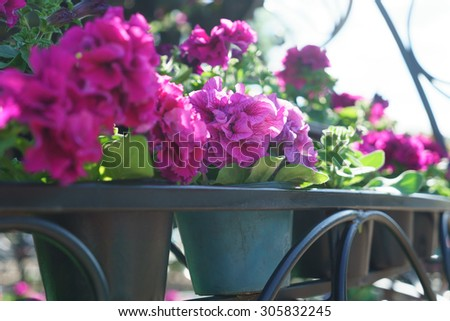 Close-up view branches gently burgundy flowers with open flowers  hanging garland with flower pot located on flowerbed with space for text on white backdrop