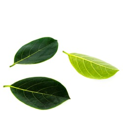 Close-up view collection of fresh green jack fruit leaves isolated on white background.