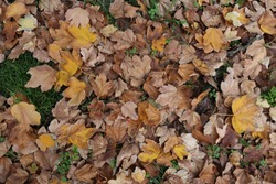 Close up view from above of group of dead brown leaves fall on the ground. Abstract picture of dry foliage in a public barden. Textured colorful surface in autumn season.