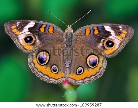 Close- up view of a beautiful Buckeye Butterfly (Junonia coenia).