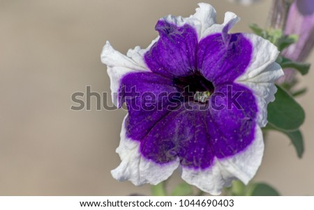 Close up view of a beautiful purple and white petunia flowers