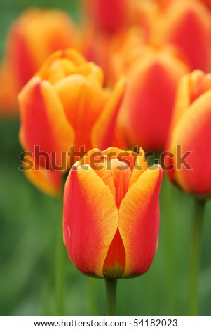 Close-up view of a beautiful tulip