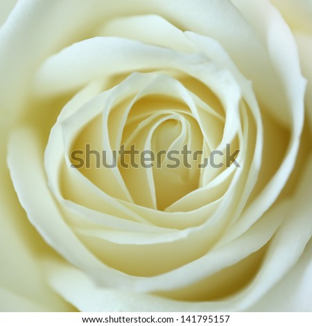 Close up view of a beautiful white rose. Macro image of white rose