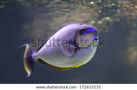 Close-up view of a bignose unicornfish  (Naso vlamingii)