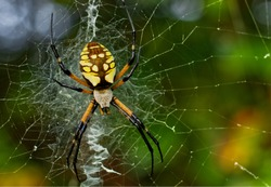 Close Up View of a Black and Yellow Garden Spider