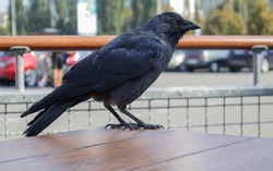 Close-up view of a black bird, a crow standing on a wooden table of a street fast food restaurant, waiting and looking for food. Raven is seated on the fence