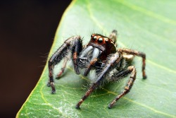 Close up view of a Bold Jumping Spider