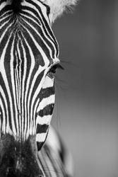 Close up view of a Burchell's Zebra