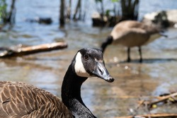 Close up view of a Canadian goose at the natural park