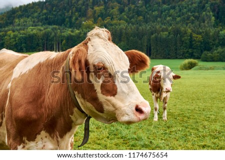 Close-up view of a cow with a calf on green pasture and grass in the Alps in Austria with a forest background #1174675654