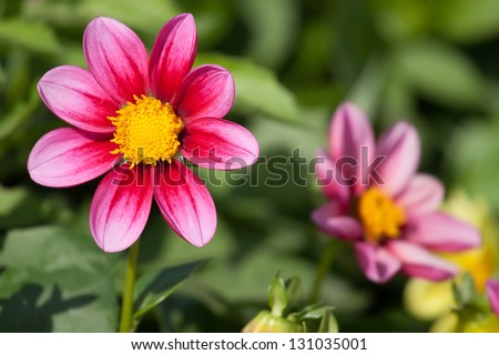 Close-up View of a Dahlia Flower in the garden