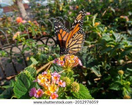 Close up view of a Danaus plexippus feeding on a little colorful flower, macro shot of a cute monarch butterfly eating pollen of a flower Stock photo ©