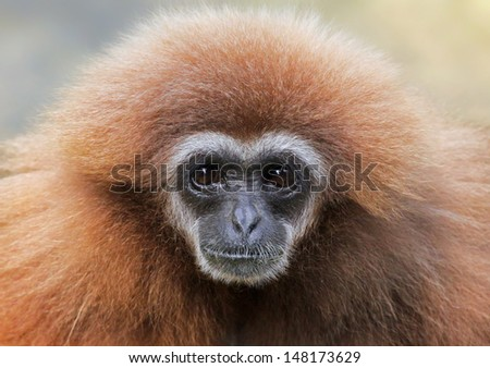 Close-up view of a female lar gibbon (Hylobates lar)