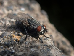 Close up view of a fly with its red awesome eyes standing on a rock, macro shot of a black fly (Diptera)