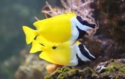 Close-up view of a Foxface rabbitfish (Siganus vulpinus)