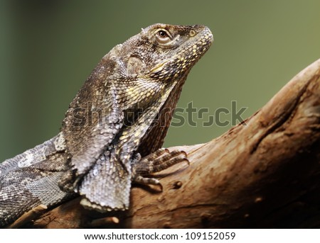 Close-up view of a Frill-necked lizard (Chlamydosaurus kingii)