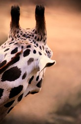 close up view of a giraffe head from behind with brown background