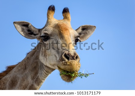Close up view of a Giraffe's head eating Acacia tree leaves. Seen in Etosha National Park, Namibia, Africa. Acacias are equipped with spikes, Giraffes can eat the leaves nevertheless.