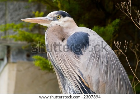 Close-up view of a Great Blue Heron (Ardea herodias) at rest.