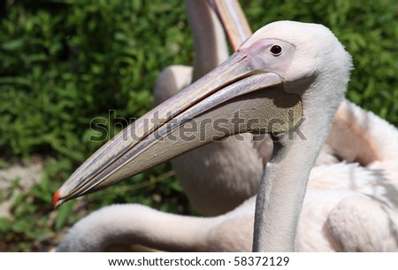 Close-up view of a Great White Pelican 02