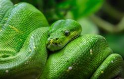 Close-up view of a green tree python (Morelia viridis)