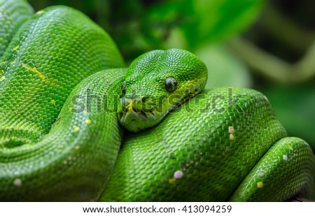 Close-up view of a green tree python (Morelia viridis)