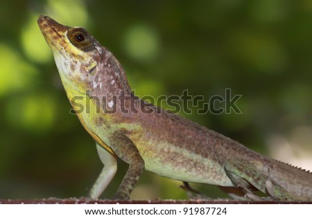 Close-up view of a Grenada Tree Anole,  Tobago 02