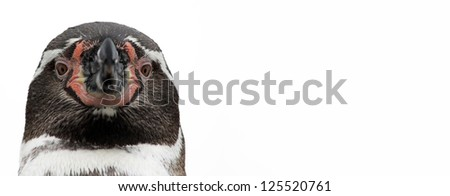 Close-up view of a Humboldt Penguin, isolated on white background