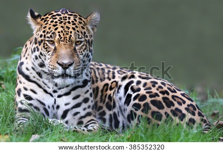 Close-up view of a Jaguar (Panthera onca) #385352320