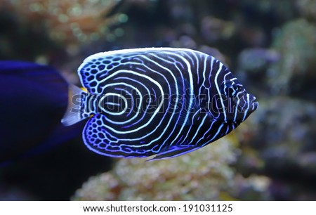Close-up view of a Juvenile Emperor angelfish (Pomacanthus imperator)