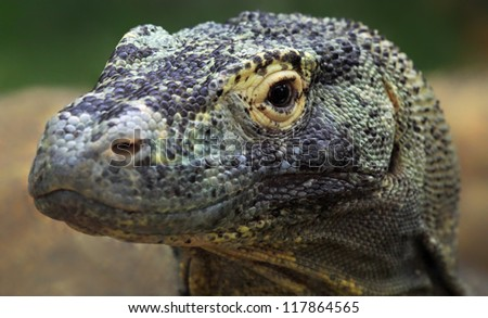Close-up view of a Komodo dragon (Varanus komodoensis)