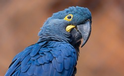 Close-up view of a Lears macaw (Anodorhynchus leari)