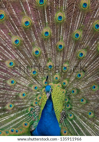 close up view of a peacock showing feathers - stock photo